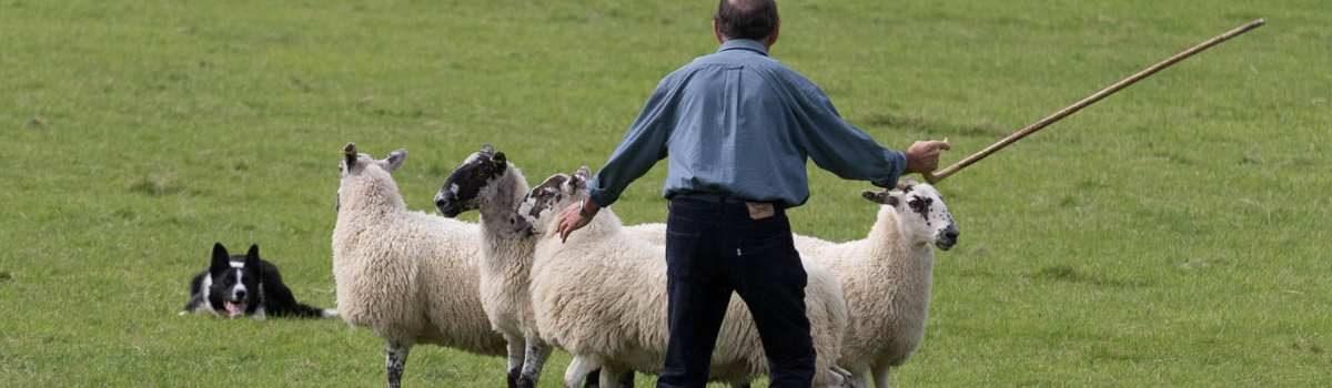 Sheepdog Trials