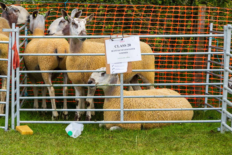 Photo of sheep in a metal pen